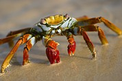 Animal Portraits Prints - A Sally Lightfoot Crab Crawls Print by Ralph Lee Hopkins