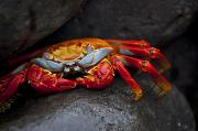 Ecuador Prints - A Sally Lightfoot Crab On A Rock Print by Michael Melford
