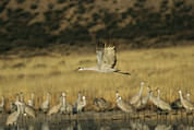 Animal Behavior Art - A Sandhill Crane Flying Past Others by Marc Moritsch
