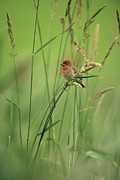 Pods Framed Prints - A Scarlet Grosbeak Perched On Grass Framed Print by Klaus Nigge