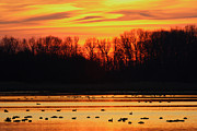 Snow Geese Photos - A Scene At Bombay Hook National by George Grall