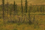 Cypress Hills Interprovincial Park Prints - A Scenic View Of A Spruce Bog Print by Raymond Gehman
