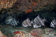 Ledge Photo Posters - A School Of Atlantic Spadefish Poster by Terry Moore