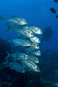 Osteichthyes Photos - A School Of Bigeye Trevally, Papua New by Steve Jones
