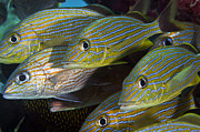 Tropical Fish Posters - A School Of Blue Striped And White Poster by Terry Moore