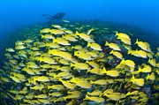 Snappers Prints - A School of Bluelined Snappers Print by Alex Mustard and Photo Researchers