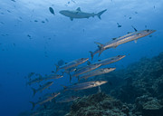 Reef Sharks Posters - A School Of Pickhandle Barracuda, Papua Poster by Steve Jones