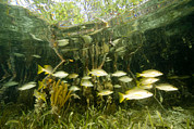 Schools Photos - A School Of Snappers Shelters Among by Tim Laman