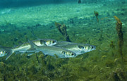 Osteichthyes Photos - A School Of Striped Mullet Wim by Michael Wood
