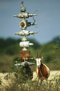Hardware Posters - A Scimitar Horned Oryx Next To An Oil Poster by Joel Sartore