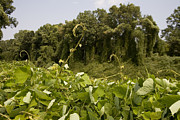 Kudzu Framed Prints - A Sea Of Kudzu Vines Takes Framed Print by Stephen St. John