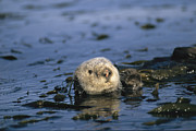 Aquatic Plants Prints - A Sea Otter Floats In A Tangle Of Kelp Print by Paul Nicklen
