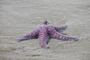 Valdes Posters - A Sea Star Lies In The Surf In The Gulf Poster by Taylor S. Kennedy