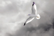 Bird In Flight Prints - A Seagull In The Clouds Print by Tom York
