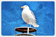 Sea Birds Prints - A Seagull Pauses Print by Debra  Miller