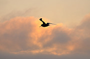 Wild Life Prints - A Seagull Takes Flight Print by Bill Cannon