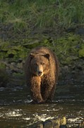 Bears Island Photos - A Serious Looking Brown Bear Crossing by Ralph Lee Hopkins