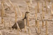 Featured Art - A Sharptail Grouse Walks Among Corn by Joel Sartore