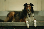 Sheepdogs Art - A Sheltie On The Back Step Of A Home by Joel Sartore