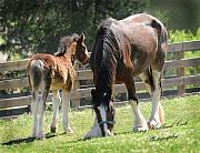 Terry Kirkland Cook - A Shire Mare and Foal
