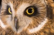 Eared Prints - A Short-eared Owl Asio Flammeus Print by Joel Sartore