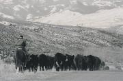 Herders Posters - A Shot Of Ranchers Pushing Cattle Poster by Bobby Model
