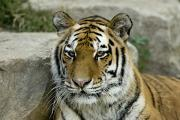 Tiger Photography Prints - A Siberian Tiger At The Henry Doorly Print by Joel Sartore