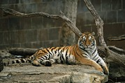 Wildcats Posters - A Siberian Tiger Rests In Her Outdoor Poster by Joel Sartore