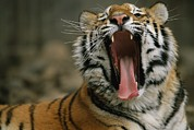 Roosting And Resting Prints - A Siberian Tiger Yawns While Resting Print by Joel Sartore