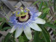 Passiflora Originals - A Side of Passion by Debra Payne