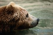 Kodiak Photo Prints - A Side-view Of A Captive Kodiak Bear Print by Tim Laman