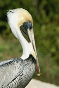 J N Ding Darling National Wildlife Refuge Photos - A Side View Of A Pelican by Norbert Rosing