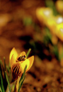 Crocus Prints - A Sign of Spring Print by Rona Black
