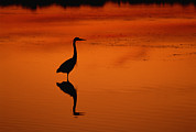 Ardea Framed Prints - A Silhouette Of A Great Blue Heron Framed Print by Norbert Rosing