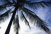 Palm Trees Fronds Posters - A Silhouette Of A Palm Tree Poster by Marc Moritsch