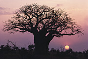 Baobab Posters - A Silhouetted Baobab Tree At Sunset Poster by Medford Taylor