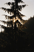 Fir Trees Prints - A Silhouetted Fir Tree At Twilight Print by Raymond Gehman