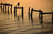 Docks Etc. Art - A Silhouetted Heron Perches by Joel Sartore