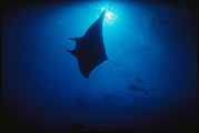 Groups Of Animals Metal Prints - A Silhouetted Manta Ray Swims In Deep Metal Print by Raul Touzon