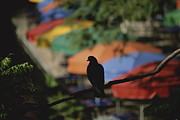 A Silhouetted Pigeon Surveys Print by Stephen St. John
