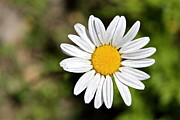 Loves Framed Prints - A Single Daisy Framed Print by Karon Melillo DeVega