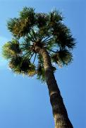 Anna Maria Island Posters - A Single Palm Tree Poster by Stacy Gold