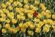 Chromatic Contrasts Photos - A Single Red Tulip Among Yellow Tulips by Ted Spiegel