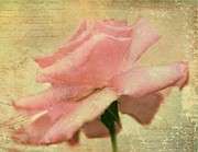 Pink Flower Prints Posters - A Single Rose Poster by Kathy Jennings