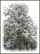 Blizzard Scenes Posters - A Single Snow Covered Evergreen Pine Tree Framed in the Canadian Wilderness after a Snow Storm Poster by Chantal PhotoPix