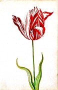 Vel Verrept Framed Prints - A Single Striped Tulip Framed Print by Vel Verrept