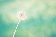 Dandelion Photos Framed Prints - A Single Wish Framed Print by Amy Tyler
