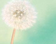 Dandelion Prints - A Single Wish II Print by Amy Tyler