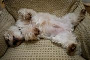 Sleeping Dogs Photo Prints - A Sleeping Maltese Dog Lies In Awkward Print by Stephen St. John