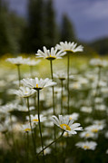 Santa Fe National Forest Photos - A Small Group Of Daisies Stands by Ralph Lee Hopkins